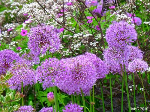 This wonderful combination of bright mauve Allium against a smoky burgundy and the wine tinged cream flowers is one that I have always liked.