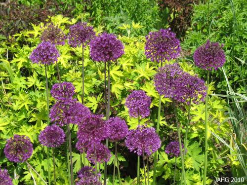 One of many forms of Giant Onion, Allium 'Purple Sensation' shows up well against the golden foliage.