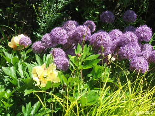 Allium 'Globemaster' has densely packed mauve flowers on strong stems.