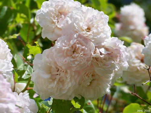 Rosa 'Felicite Perpetue' is a delicate looking Rambling Rose.