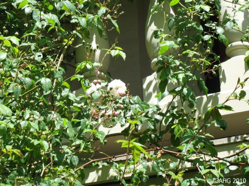 Rosa 'Félicité Perpétue' is climbing up the veranda in the Novitiate Garden at St. Ann's Academy in Victoria.