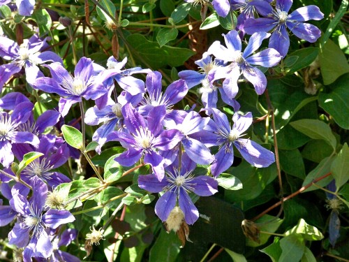 Clematis 'Perle d Azur' is one of the more spectacular forms of Jackman Clematis.