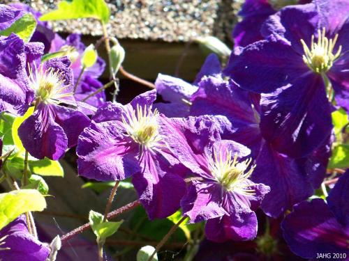 Clematis 'Gipsy Queen' is easily recognizable with each petal having a maroon stripe though it.