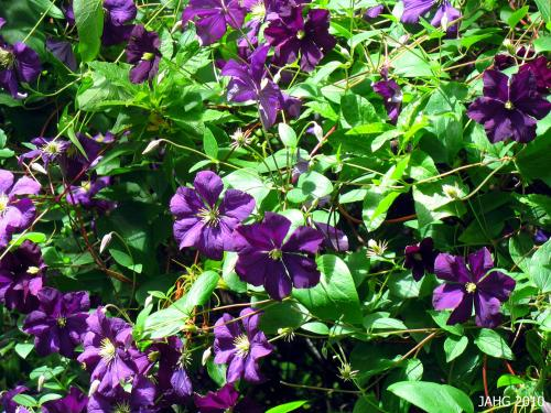 Clematis x jackmanii 'Superba' gives an injects an incredible shot of color into gardens during the long days of summer.