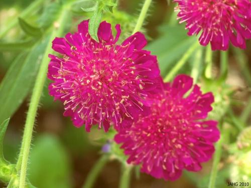 If you like intense colors, Crimson Scabious is a must for your garden!