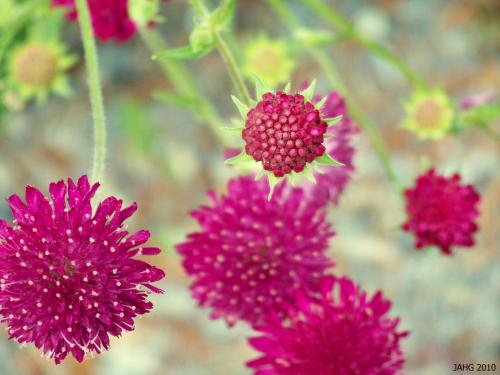 Knautia macedonica has an unusual deeply colored flower which blooms for months over the summer into late fall.