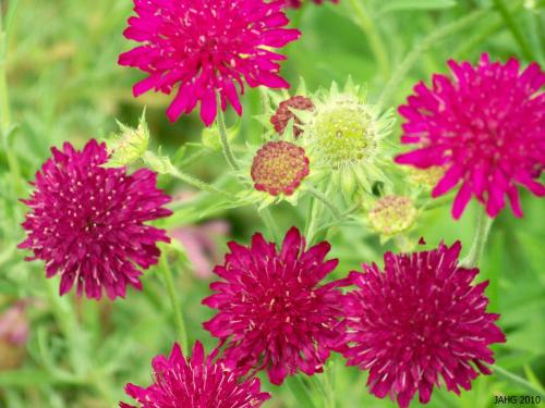 From bud through to seed-head Knautia macedonica is an intriguing plant.