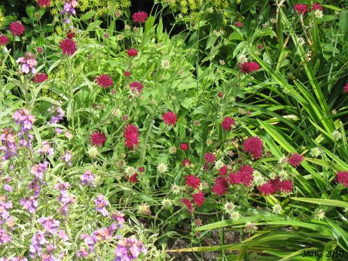 Crimson Scabious blooms from June until late in the year.