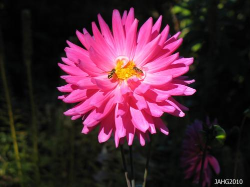 The vivid colors of Dahlia flowers are hard to overlook in the garden at this time of the year.