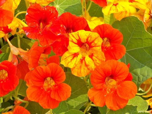 The bright array of colors found in Tropaeolum majus always appeals to children of any age.