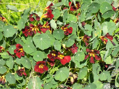 Nasturtium 'Mahogany' has the darkest flowers that i have seen here in Victoria.