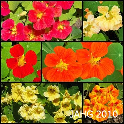 The stained glass coloring of the Nasturtium flowers and the curious rounded leaves have inspired for many famous artists and writers.