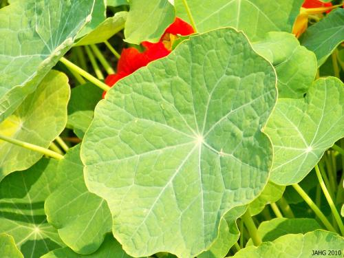 Nasturtium leaves are unusual as the stem is attached to the very middle of the leaf giving it a curious round shape which is part of this plants charm.