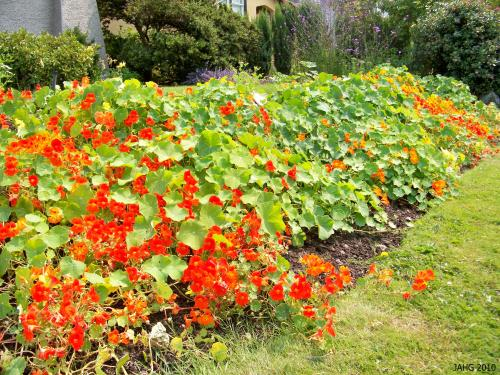Here the trailing variety of Nasturtium is used as a simple but charming ground cover that is a riot of color during summer and autumn.