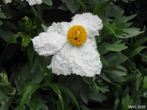 Part of the charm of Romneya coulteri are the petals which bring to mind the most delicate silk or crepe paper.