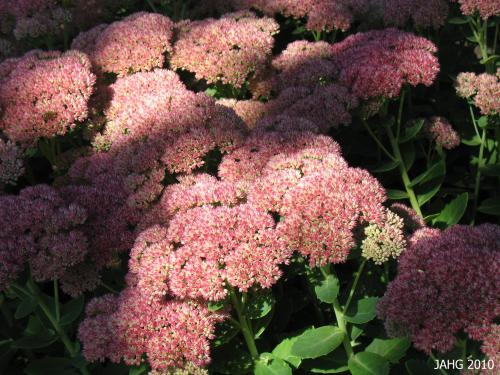 Sedum 'Autumn joy' is an ever changing palette of colors.