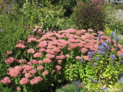 Here Sedum 'autumn Joy' is seen in a border with Echinacea, Verbena, blue Lobelia and frothy Gaura in the corner.