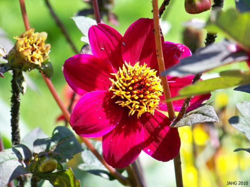 The first species Dahlia recorded would have been single flowered and look something like this.