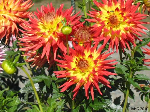 This brilliant bi-color Dahlia is classified as a ' Semi-Cactus' flower form.