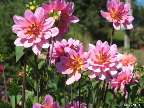 There are many classes of Dahlia flower forms, this is a beautiful Semi-Double form.
