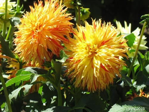 This Dahlia cultivar exhibits not only very unual petals, but, also streaks of colors in them.