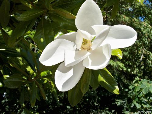 Magnolia grandiflora iss named for it's huge flowers which can be up to 30cm(12in) in diameter.