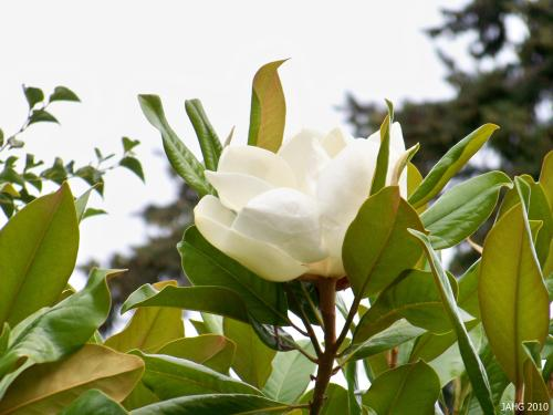 Magnolia grandiflora is the state tree and flower of Mississippi and is the state flower of Louisiana.