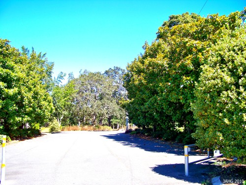 This avenue of Southen Magnolias is found off of Rock Street and leads to the top of Playfair Park in Saanich.