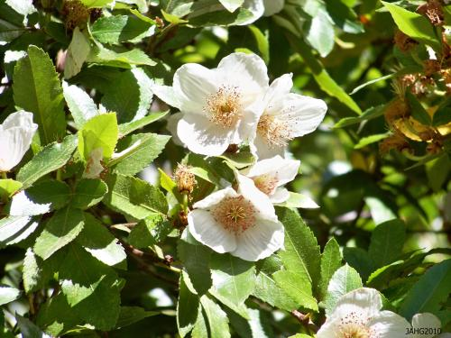 The large Eucryphia found at Dominion Brook Park in North Saanich is Eucryphia x nymanensis and was planted in 1958.