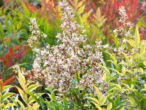 Heavenly Bamboo is a triple treat with wonderful foliage, flowers and bright red berries which appear in the fall.