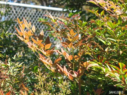 The leaves are very large and tri-pinnate which gives 'Heavenly Bamboo' its common name.