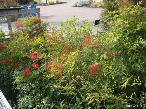 A good crop of berries is seen with this planting of Nandina domestica at U.B.C. Botanical Gardens in Vancouver.