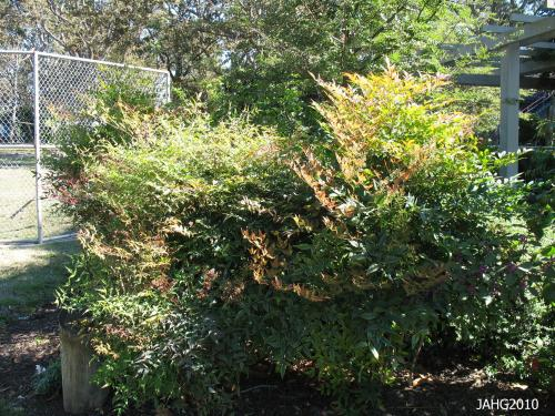 This Nandina domestica is well palced in a sheltered location with some sun.