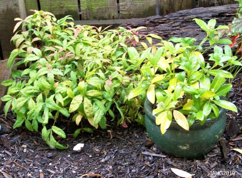 This dwarf Nandina would be best suited in a nice container.