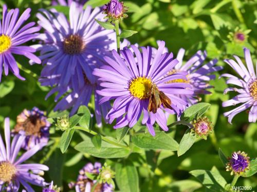 Aster x frikartii 'Monch' combines the best of its parents to create a wonderful plant.