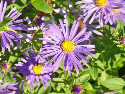 The simplicity, large size and purity of color of Monch Aster flowers is one of most pleasing aspects of the plant.
