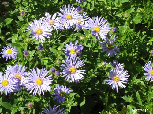 The attractive foliage that Aster x frikartii `Monch`is an added benefit.