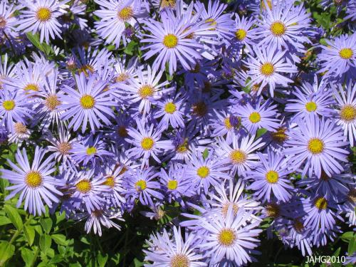 The single flowers of Aster Frikartii 'Monch' make beautiful subjects for use in boquets.