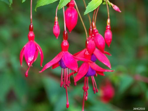 This unusual flower form of Hardy Fuchsia('Miss Popple'?) is seen at Milner Gardens in Qualicum Beach.