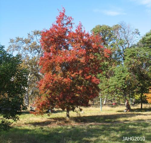 This Scarlet Oak is one of many Oaks found in the 'Mayors Grove' at Beacon Hill Park in Victoria.