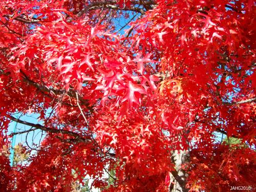 The Scarlet coloring of Quercus coccinea is very intense and brilliant.