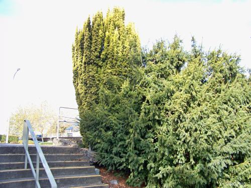 A golden Taxus baccata 'Fastigiata Aueromarginata' is seen above a common Yew here at one of the entrances to Hampton Park.
