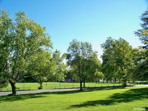 There are many Tulip Trees throughout  Victoria, these trees are along the Heywood St. entrance in Beacon Hill Park.
