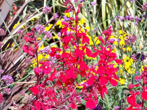 A Brilliant flash of color from 'Queen Victoria' Lobelia is a welcome sight to behold in the garden at this time of year.