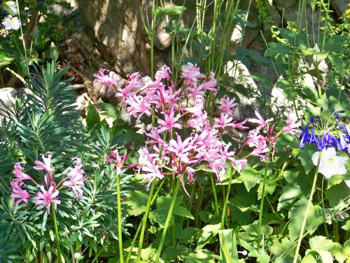 Nerine bowdenii is perfectly planted in the stony outcropping of the 'Terrace Gardens' at Government House in Victoria.