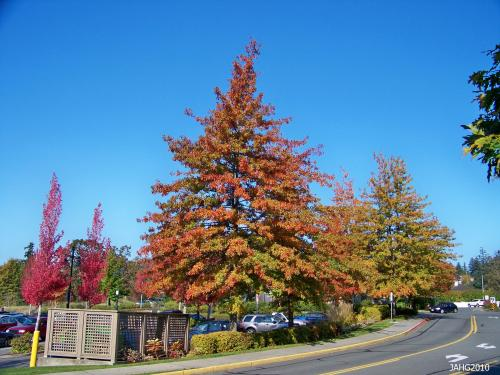 Broadmead Village Shopping Centre has some of the best Scarlet Oaks and other autumn color in the Victoria area.