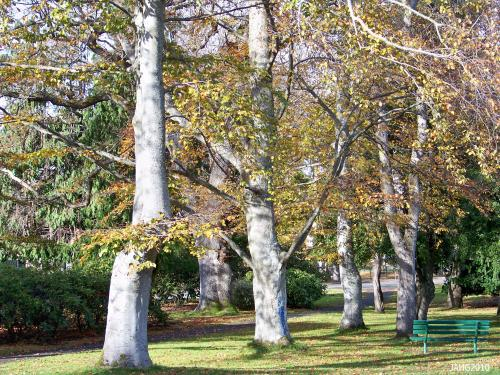 This fine trio of Beech trees are found in Beacon Hill Park near Blanchard and Southgate streets.