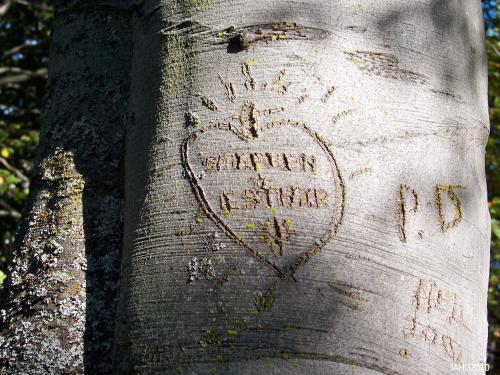 The fine smooth bark of the Beech tree has always been carved on, you can find this example at St Ann's Academy.