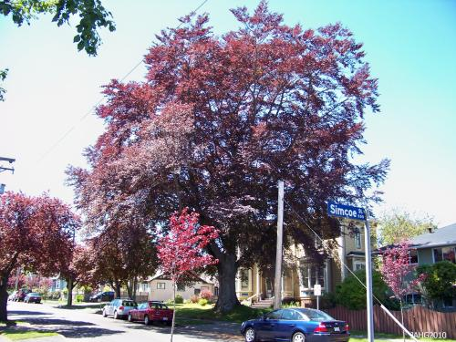 This large purple form Copper Beech was probably planted when this house in James Bay was built in the early 20th century.