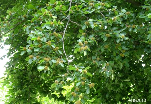 This green Fagus sylvatica tree will produce a fine crop of beechnuts which were at one time eaten as emergency food.